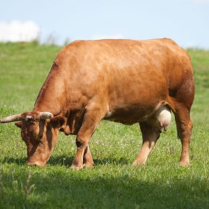 Galicia se consolida como la segunda comunidad española en producción de carne bovina